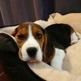 Chien Beagle Olia