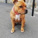 Chien American Staffordshire Terrier Ollie