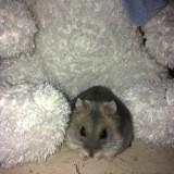 Rongeur Hamster Olympe