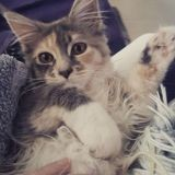 Chat Maine Coon Olympe
