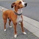 Chien Jack Russell Terrier Olympe