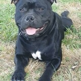 Chien Staffordshire Bull Terrier Omer Des Guerriers Jean Bart
