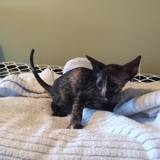 Chat Cornish Rex Onyx