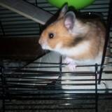 Rongeur Hamster Onyx