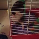 Rongeur Hamster Opale
