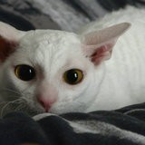 Chat Cornish Rex Ophilie