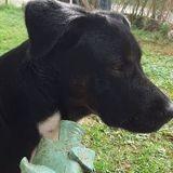 Chien Labrador Retriever Opium