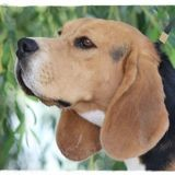 Chien Beagle Oréo