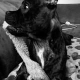 Chien Staffordshire Bull Terrier Oren