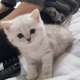 Chat British Shorthair Oreo
