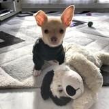 Chien Chihuahua Orton