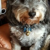 Chien Terrier tibétain Oscar