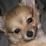 Chien Chihuahua Oscar