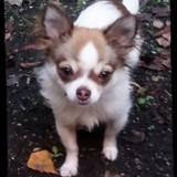 Chien Chihuahua Oslo