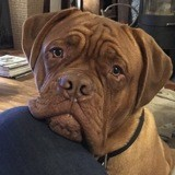 Chien Dogue de Bordeaux Oslow