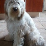 Chien Bearded Collie Oups