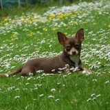 Chien Chihuahua Overwinning Ostral Bambi