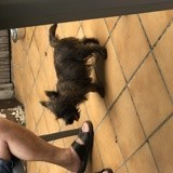 Chien Cairn Terrier Ovide