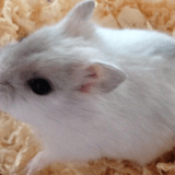 Rongeur Hamster Oxy