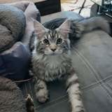 Chat Maine Coon Oxy