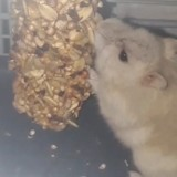 Rongeur Hamster Pâquerette