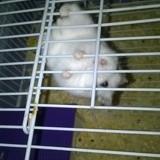 Rongeur Hamster Pépette