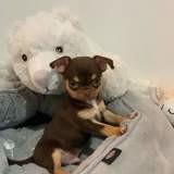 Chien Chihuahua Pépito