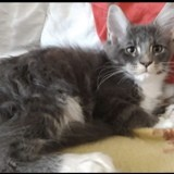 Chat Maine Coon Pacco