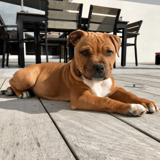 Chien Staffordshire Bull Terrier Paco
