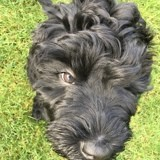 Chien Terrier noir russe Paco
