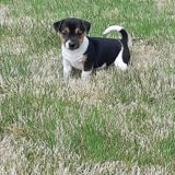 Chien Jack Russell Terrier Pago
