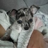 Chien Chihuahua Pandora