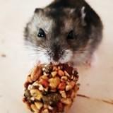 Rongeur Hamster Papaye
