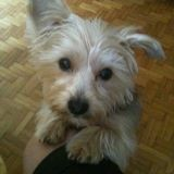 Chien Silky Terrier Papouille