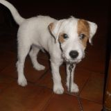 Chien Parson Russell Terrier Goldy