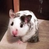 Rongeur Hamster Patch