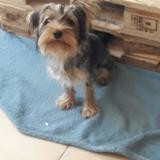 Chien Yorkshire Terrier Pato