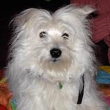 Chien Petit chien courant suisse Paulina