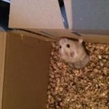 Rongeur Hamster Peanut
