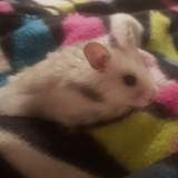 Rongeur Hamster Peanuts