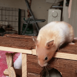 Rongeur Hamster Pepette