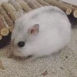Rongeur Hamster Perla
