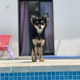 Chien Chihuahua Perla