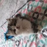 Chat Persan Pepito