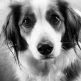 Chien Petit chien hollandais de chasse au gibier d'eau Lili