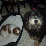 Chien Petit chien lion Gavroche