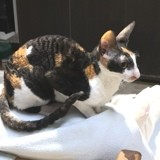 Chat Cornish Rex Petra