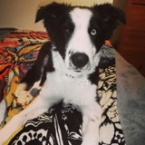 Chien Border Collie Phyllali