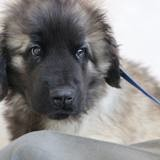 Chien Leonberger Piankhy