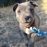 Chien Staffordshire Bull Terrier Pickles